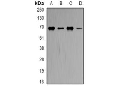 Anti-CBS Antibody