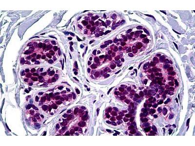 Mouse Anti-FOXA2 Antibody