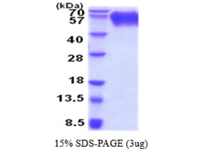 Tyrosine-protein phosphatase non-receptor type substrate 1, 32-373aa, Rat, His tag, Baculovirus