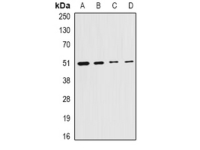Anti-Citrate Synthase Antibody