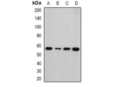 Anti-NEK3 Antibody