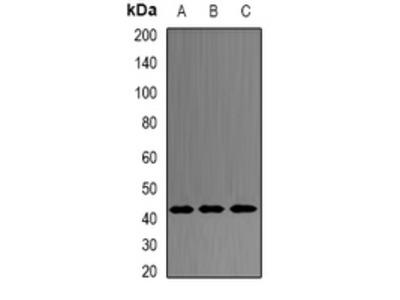Anti-PRDM7 Antibody