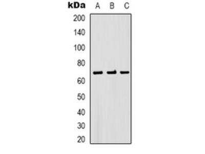 Anti-Beta2A-tubulin Antibody
