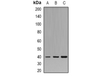 Anti-Pleckstrin Antibody