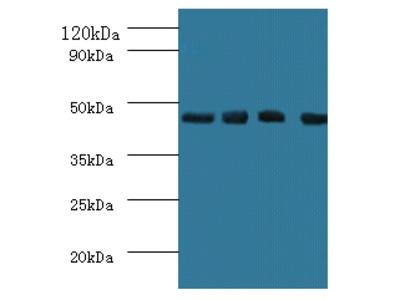 Indoleamine 2,3-dioxygenase 1 Polyclonal Antibody