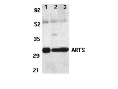 ARTS Antibody