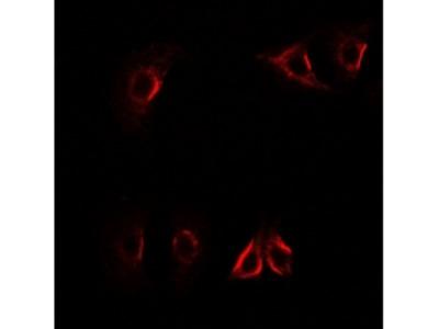 AXIN2 / Axin 2 Antibody
