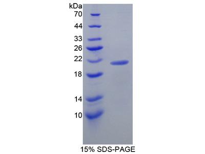 LCN8 Protein
