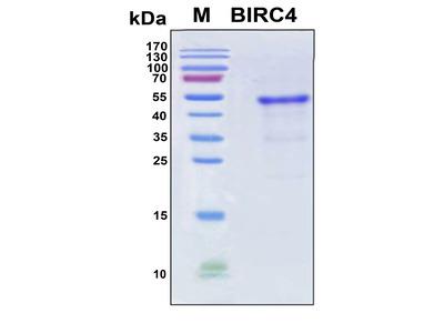 Recombinant Human X-linked IAP (BIRC4)