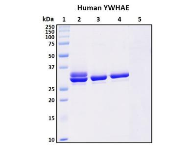 Recombinant Human 14-3-3 protein epsilon (YWHAE)