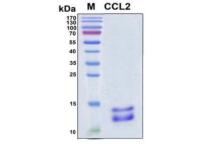 Recombinant Human MCP-1
