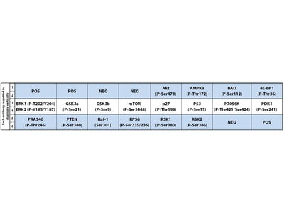 Human and Mouse AKT Pathway Phosphorylation Array C1