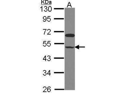 anti-Polr2m (GRINL1A) antibody