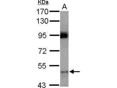 anti-CYP3A7 antibody