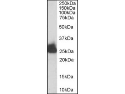 Triosephosphate isomerase (TPI1) (274-286) goat polyclonal antibody, Aff - Purified