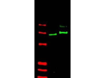 anti GLI2 (46-60) (Isoform alpha)