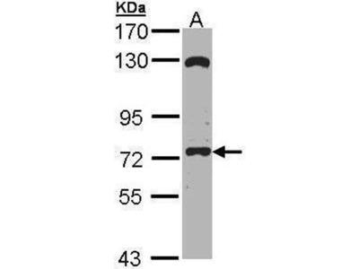 anti-EXOC7 (exocyst complex component 7) antibody