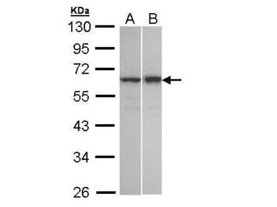 Anti-Abin 2 antibody [N1C2]