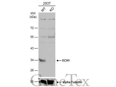 Anti-ECH1 antibody [N1C3]