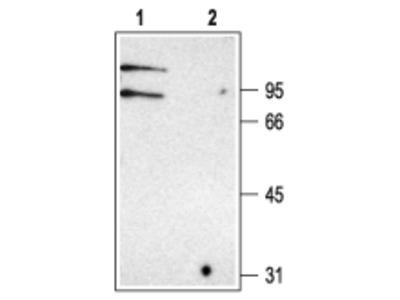 Anti-CLC-K Antibody