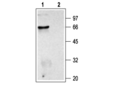 Anti-CHRM2 Antibody