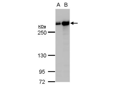Anti-Filamin A antibody [C2], C-term