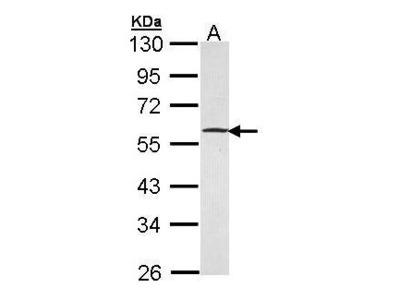 Anti-GABPB1 antibody [N1C3]