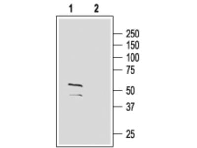 Anti-GABA(A) gamma2 Receptor (extracellular) Antibody