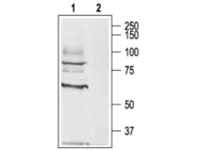 Anti-CHRM3 Antibody