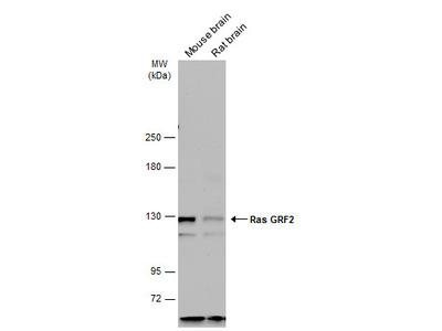 Anti-RASGRF2 antibody [C2C3], C-term