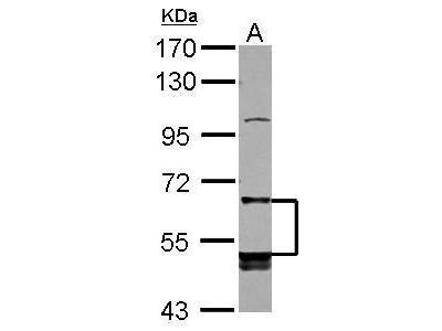 Anti-LILRB5 antibody [N2C1], Internal