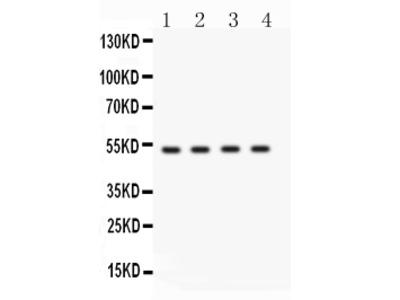 Anti-BDKRB2 Picoband Antibody