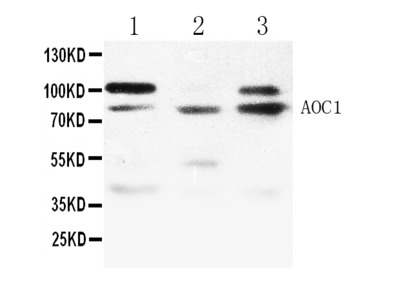 Anti-ABP1/AOC1 Picoband Antibody