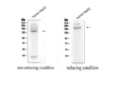 Anti-ADAMTS13 Picoband Antibody