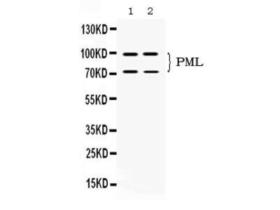 Anti-PML Protein Picoband Antibody