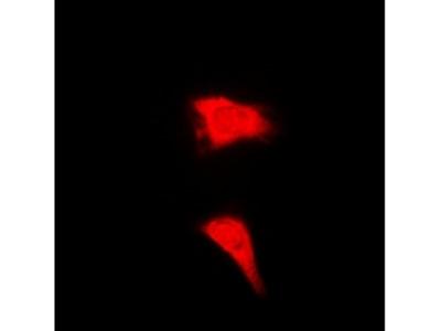 CTCFL / BORIS Antibody