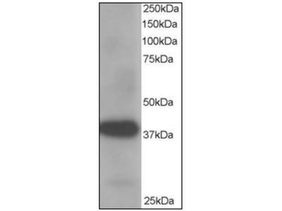 anti AKR1A1 / ALDR1 (313-325)