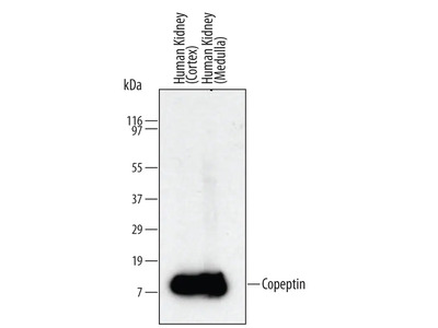 Copeptin Antibody