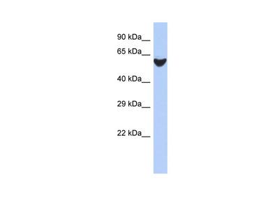 BRF2 antibody - N-terminal region (ARP50630_P050)