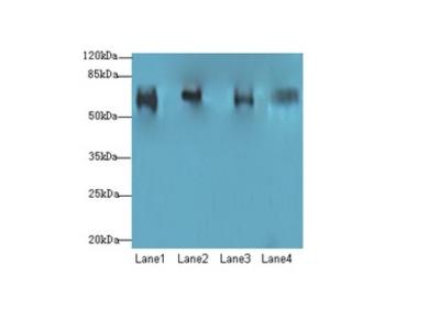 CFAP52 / WDR16 Antibody