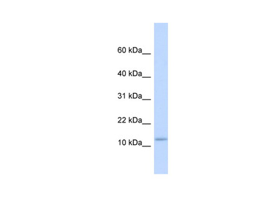 C9orf46 antibody - middle region (ARP49314_P050)