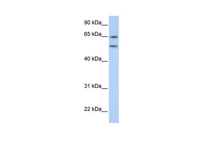HTR2A antibody - N-terminal region (AVARP13044_P050)