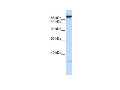 CAD antibody - C-terminal region (ARP46104_P050)