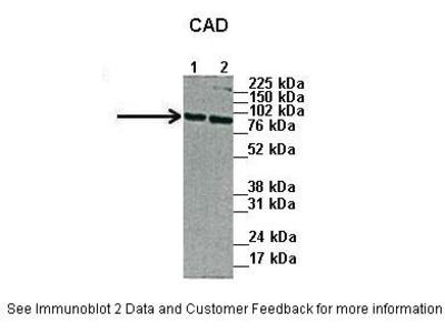 CAD antibody - N-terminal region (ARP46105_P050)