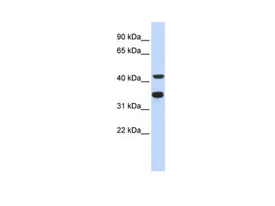 POLD2 antibody - N-terminal region (ARP48694_P050)