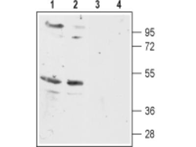 Anti-MC5 Receptor Antibody