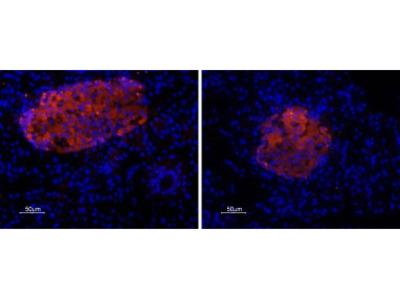 Anti-P2X7 Receptor Antibody
