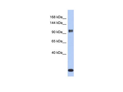 ATXN7 antibody - middle region (ARP33364_P050)