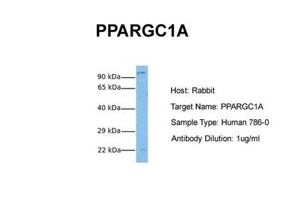 PPARGC1A antibody - N-terminal region (ARP31507_P050)