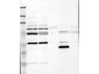 Opsin 3 Antibody